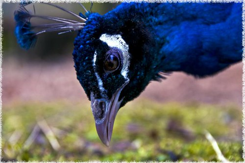 peacock face | by Septic666