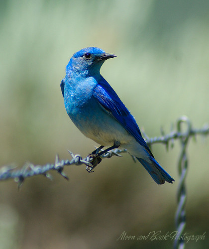 Mountain Bluebird | by Aspenbreeze