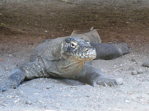 Komodo dragon at Komodo National Park | by East Asia & Pacific on the rise - Blog