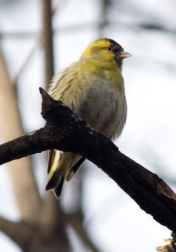 Siskin; Spinus spinus | by phenolog