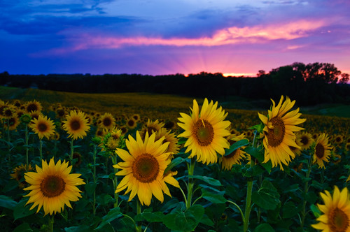 Sunflowers at Sunset | by SteveWetzel