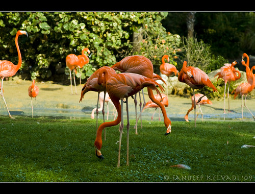 Busch Gardens_Bird park - Flamingoes | by 'SandFlash