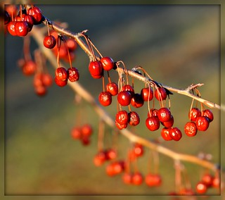 Berry Bokeh | by Tracey Tilson Photography