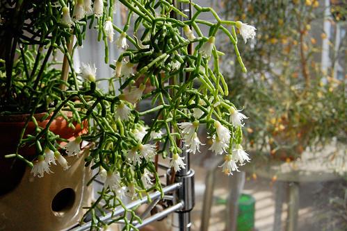 flower - Rhipsalis cereuscula