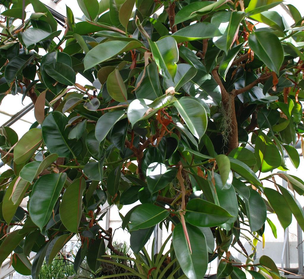 Ficus elastica 'Decora' | Common Rubber Tree, Plant Sciences