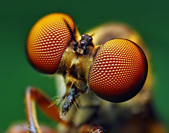 Eyes of a Holcocephala fusca Robber Fly | by Thomas Shahan