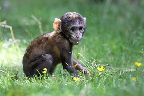 baby monkey | by Black Cat Photos