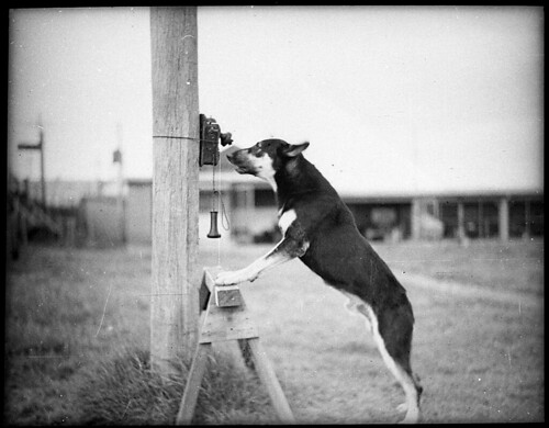 Police Dog, Tess, 29/1/35 / by Sam Hood | by State Library of New South Wales collection