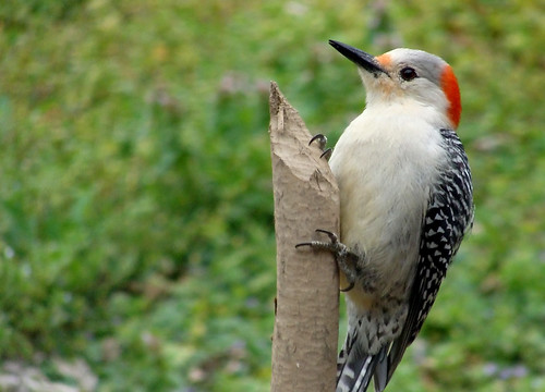 Female Red-Bellied Woodpecker | by melnik55...changed meds, some better! :D
