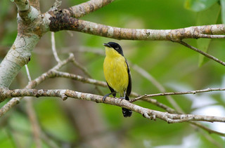 Common Tody Flycatcher | by Billtacular