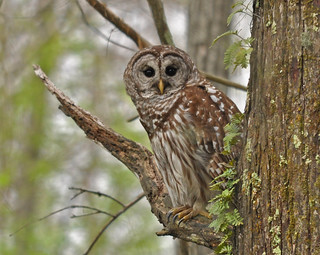 Barred Owl | by Ed Schneider