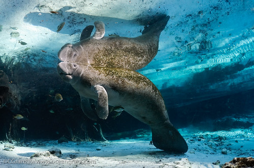 Manatee_In_Light_24 | by oceangrant