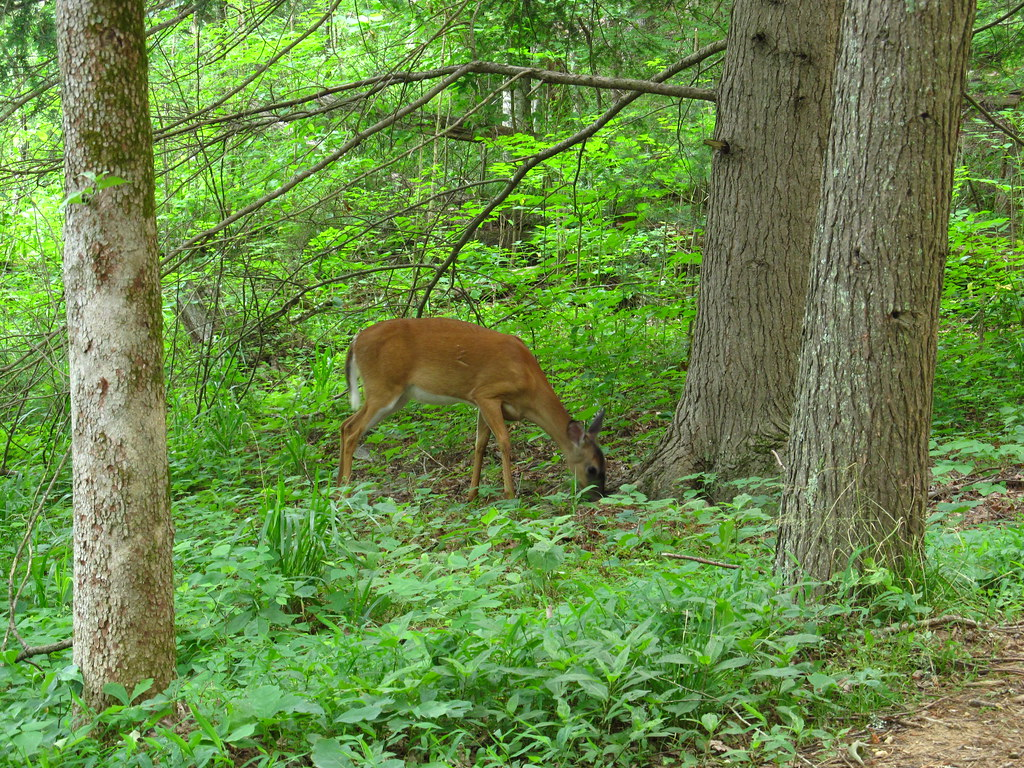 Smoky Mountains Wildlife Deer
