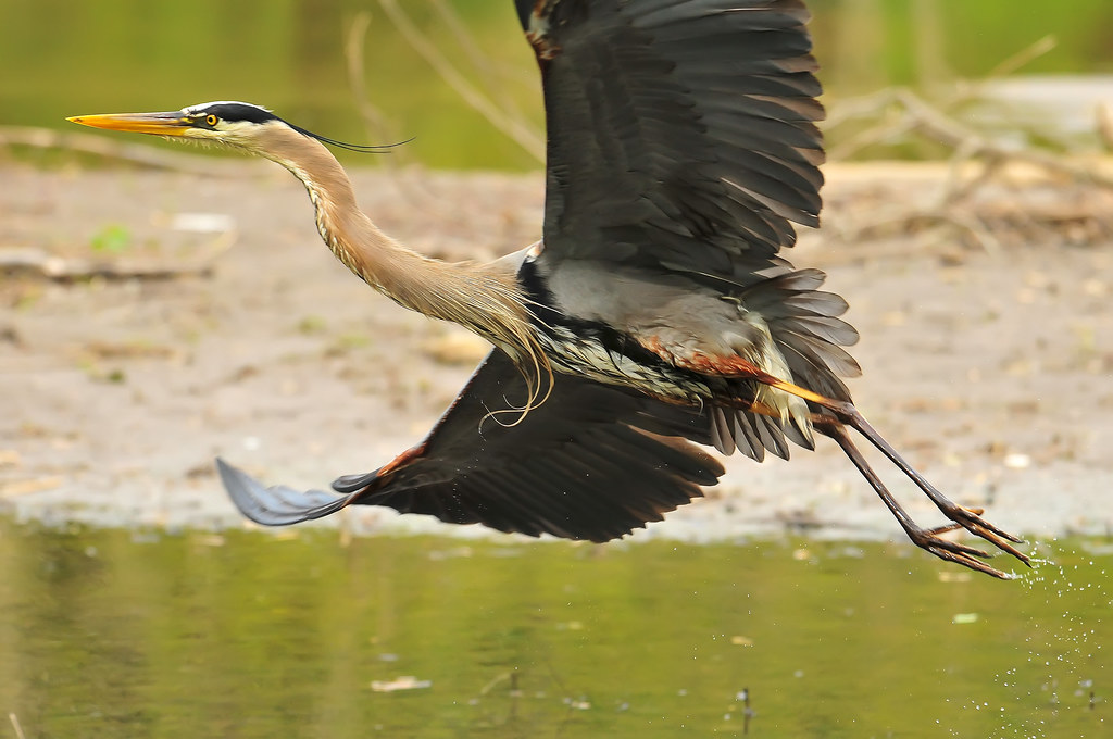 Encountering Great Blue Heron On >> Close Encounters With A Great Blue Heron Part Two Of Two Flickr