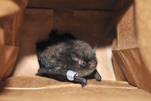 the indiana bat endangered By annie perry, mna intern michigan protects federally listed birds, snakes and plants—and one bat the indiana bat, the only endangered bat in the state, has been federally protected since the late 1960s.