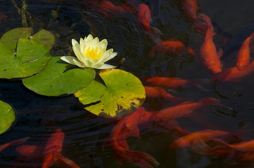 Water lily and fishies | by julesberry2001