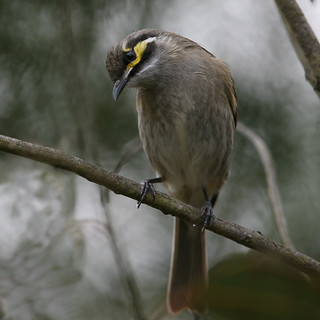 Yellow-faced Honeyeater | by Greg Miles