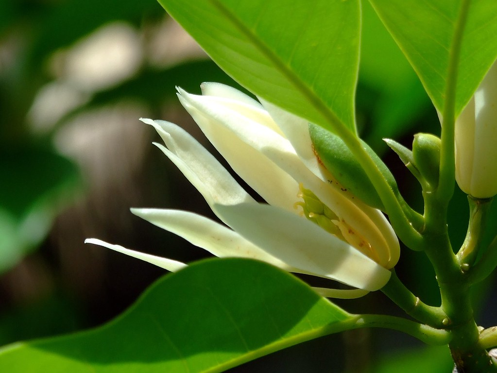 Magnoliaceae White Jade Orchid Michelia X Alba Flickr