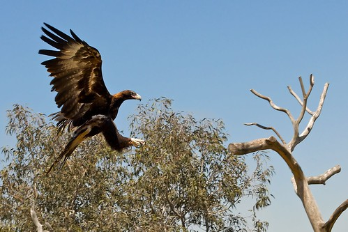 Eagle Landing | Another photo from the Free Flight Bird ...