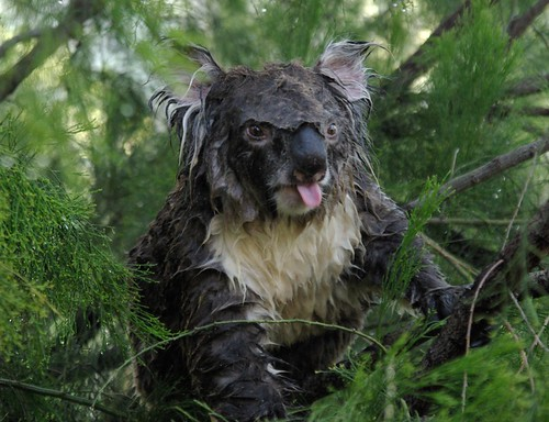 Wet Koala 4 | by Oz_drdolittle