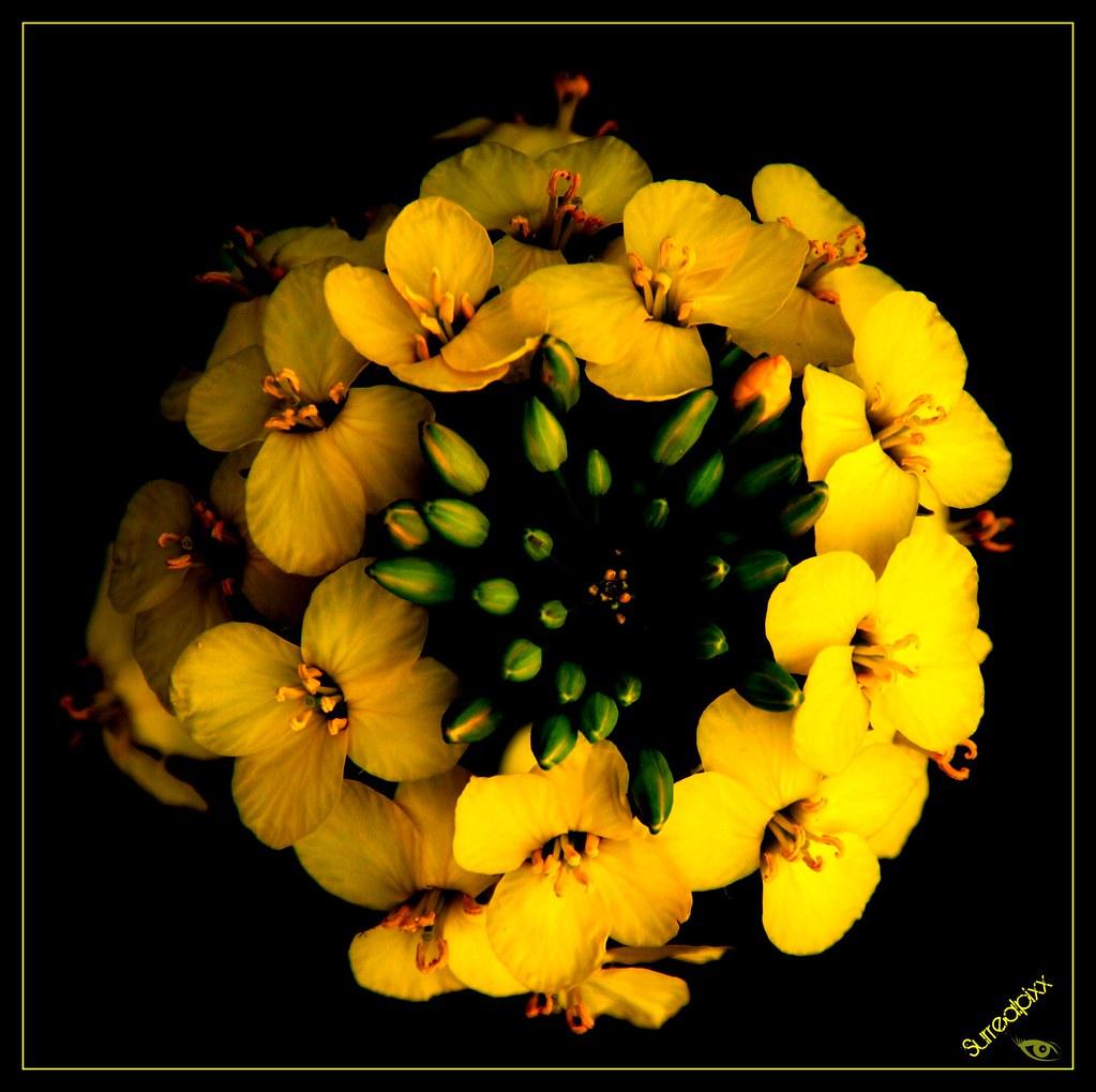 Yellow Flower Ball Sternschnuppes Welt Flickr