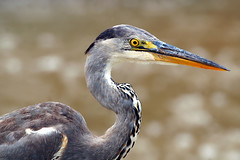 Black-headed Heron (Ardea melanocephala) | by Arno Meintjes Wildlife