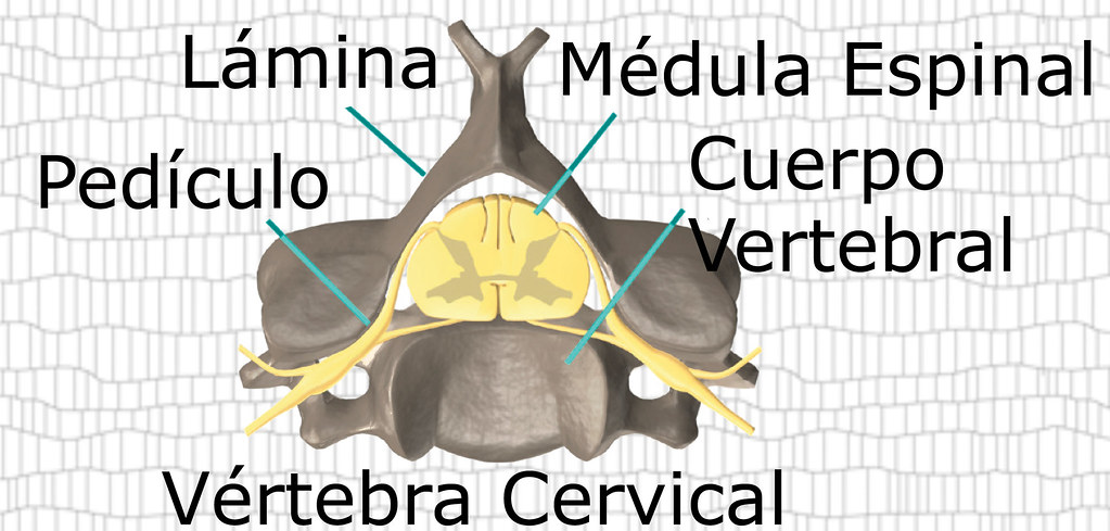 Vértebra Cervical | Fisioterapia Global | Flickr