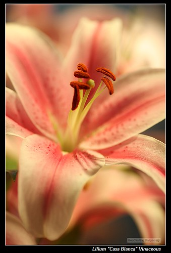 135mm f/2L Lilium Casa Blanca | by Geocaching_badger