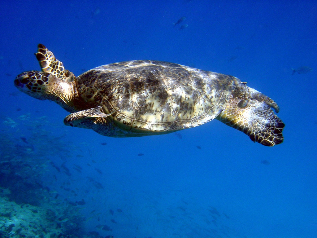 sea turtle a sea turtle swimming in the waters off of the u2026 flickr