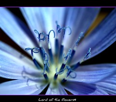 Common Chicory | by Ozcan MALKOCER