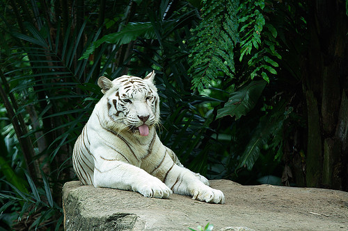 White tiger | by Phi Dao