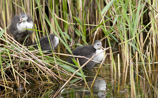 Almost grown coots. | by j_wijnands