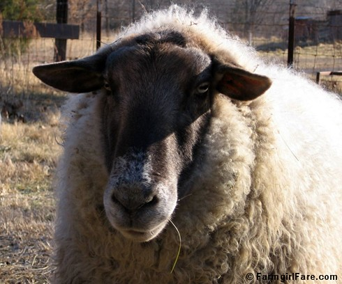 Big Chip Suffolk sheep - January 2006 | by Farmgirl Susan