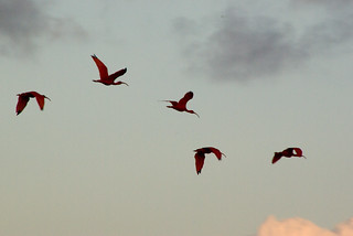 The Flight of the Scarlet Ibis | by BasL