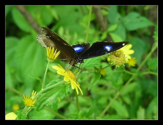 Butterfly at Sonki (सोनकी)  flower | by Tanmay Shende