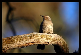 Brown Treecreeper, Newline, 5.9.09e | by Tobias Hayashi Photography