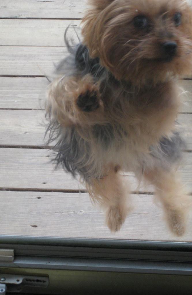 Resultado de imagen para yorkie dog, in the glass door