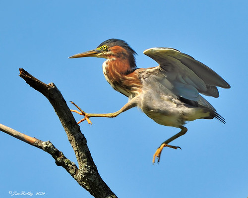 Skipping Green Heron! | by JRIDLEY1