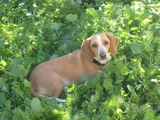 Image Result For Regal Beagle New