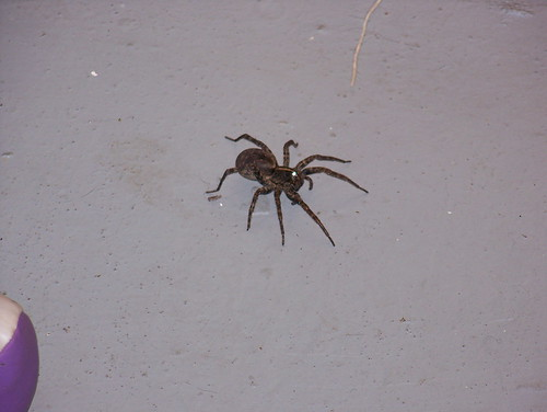 big brown spider in my basement not sure what kind of spid