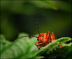 Rhagonycha fulva-Soldier Beetle | by Daren Smith