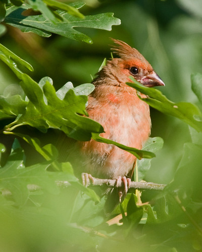 Pale cardinal | by ibm4381