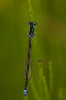 Scarce Blue-tailed Damselfly/Small Bluetip (Ischnura pumilio) | by gcampbellphoto