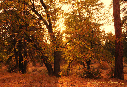 Golden Oaks | by SLEEC Photos/Suzanne