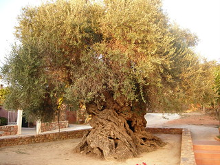 Oldest Olive Tree | by dahlbes1