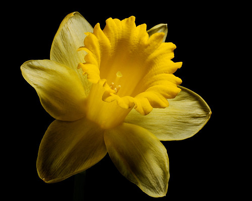 Daffodil Detail | by mstoy