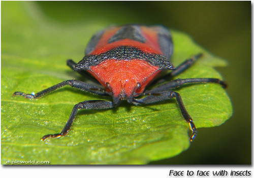 Face to face with Mr Shieldbug | by NeeZhom Photomalaya