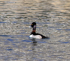 Ring-necked Duck showing ring neck! | by Laura Erickson