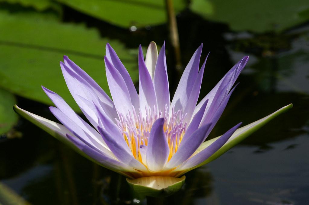 Fleur De Nenuphar Au Jardin Pamplemousse Ile Maurice Flickr