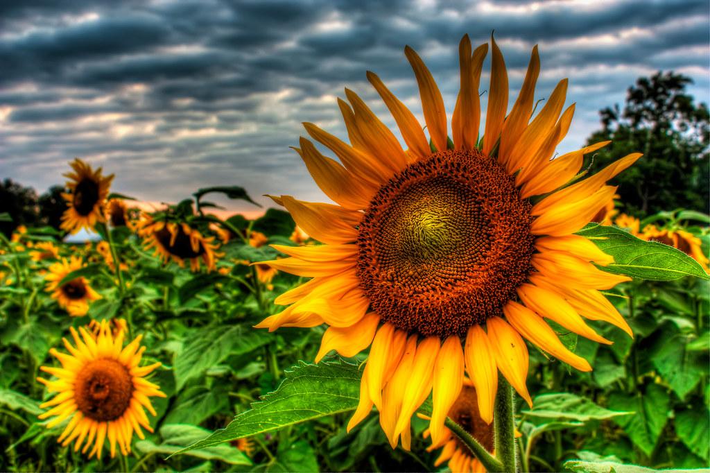 ผลการค้นหารูปภาพสำหรับ sunflower hdr